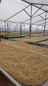 Hệ thống phơi nhà kính tại trang trại cà phê Arabica Kantata Đà Lạt